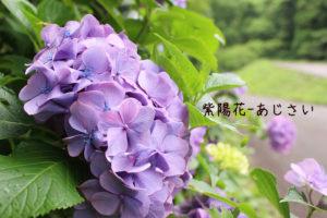 初夏の花、アジサイが満開。ドライブーケもおすすめ
