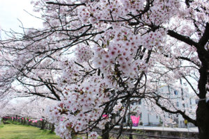 【日々のこと】桜を眺めて穏やかなひと時。
